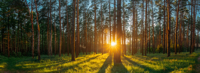 Sunset Sunrise Sun Sunshine In Sunny Summer Coniferous Forest. S