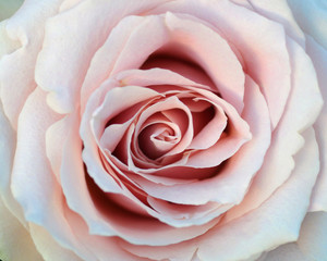 closed up of sweet pink rose flower for valentines day and wedding background