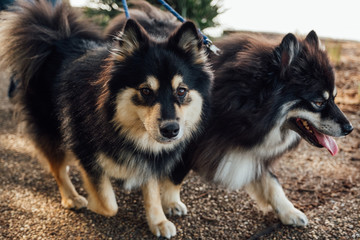 Two Finnish Lapphund Dogs