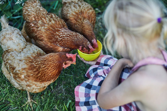 Child feeding the chickens