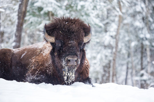 American Bison or Buffalo resting in a snow storm in north Quebec Canada.