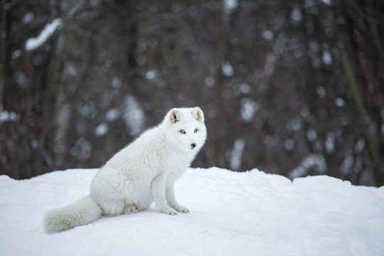 Artic fox deep in the north of Quebec, Canada.