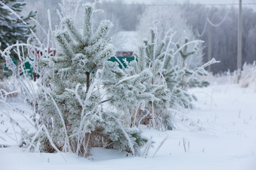 Snow-covered winter pine branch