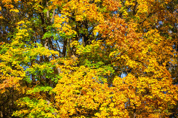 bright tree with green and yellow leaves, background, texture