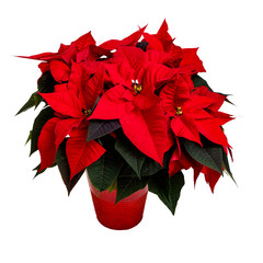 Vibrant red poinsettia plant on white.
