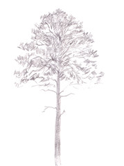 Pine tree. Black line drawing Isolated on white Background. Hand drawn illustration. Pencil sketch.