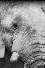 B&W elephant close-up