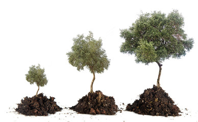 Three olive trees