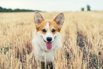 Portrait of a beautiful Welsh Corgi dog outdoors in a sunny summer day.
