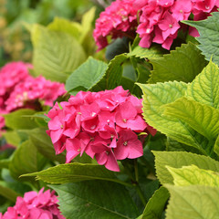 Pink hydrangea flowers in the garden