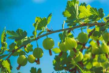 Beautiful berries of gooseberry on a blue background
