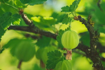 Gooseberry close up against a background of foliage