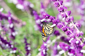 Monarch butterfly drinking nectar from purple Mexican Sage flowers on a bright sunny day. The Monarch butterfly is considered an iconic pollinator species