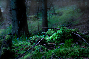 Ancient forest in Snowdonia,UK.Tree trunks ,mist and sunlight getting to forest floor.Nature photography.