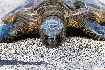 Closeup view of Green sea turtle (chelonia mydas), sunning itself on a Beach in Hawaii's Big Island. Eyes closed.