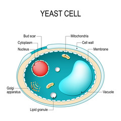 Cross section of a yeast cell. Structure of fungal cell.