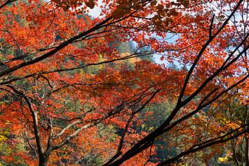 もみじ / 紅葉した葉 / 森 / 秋のイメージ