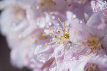 雨に濡れた桜の花