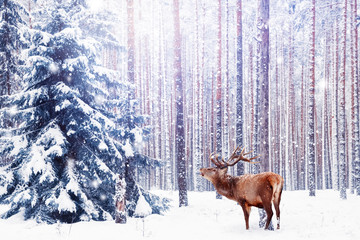Fototapete - Noble deer in a winter fairy forest. Snowfall. Winter Christmas holiday image. Winter wonderland.