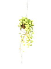 Green plant hanging isolated on white background