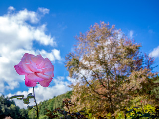 【静岡県伊豆市】公園に咲くピンクのバラ【修善寺虹の郷】