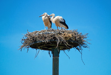 Weißstörche zwei Jungtiere im Nest Nisthilfe im Elsass