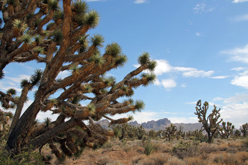 Joshua Trees in Dolan Springs, Arizona, USA