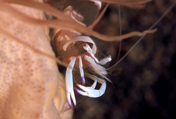 Close-up of a Magnificent Anemone Shrimp (Ancylomenes magnificus) in an Anemone. Anilao, Philippines
