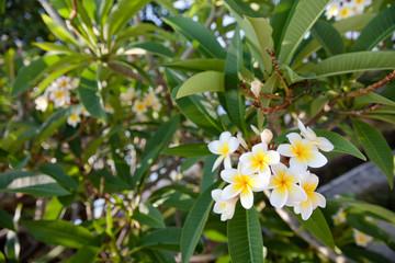 frangipani tree with white flowers