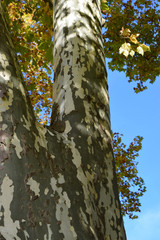Aluminium Prints Roe beautiful platanus tree trunk in october, multi colored platanus or sycamores bark tree background