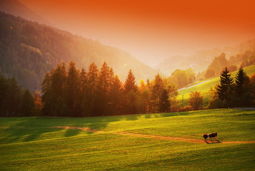 Idyllic view of grazing cows in sunset light on Val Di Funes, Italy, Europe