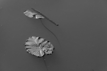 Two leaves of water lily on the pond surface. Black and white.