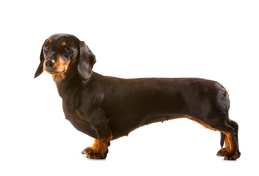 Black and tan miniature Dachshund, side view with dog looking towards camera