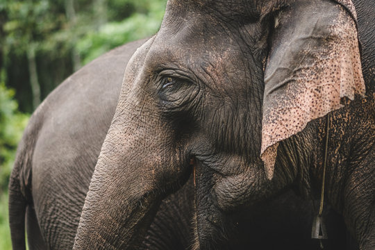 details of trunk and ears of asian elephant