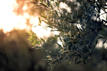 Leaves of an olive tree in spring season with blossoming.
