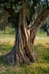 Trunk of an olive tree in the field.