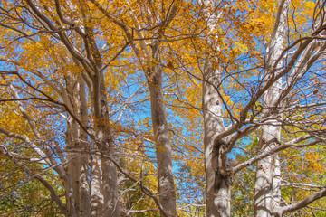 Trofa du Camperi, age-old beech on the Etna volcano in the autumn season