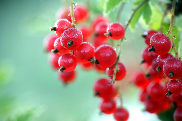 Ripe redcurrant or red currant berries