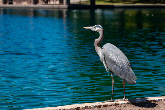 Great Blue Heron hunting for fish at the edge of the water. A large bird with gray, white and yellow markings. Maricopa County, Chandler, Arizona. Summer of 2018.