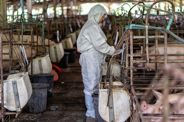 Asian veterinarian working and checking the baby pig in hog farms, animal and pigs farm industry