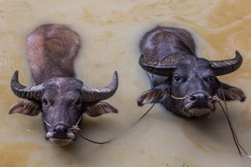 Bufallos bathing in the Shan state of Myanmar (Burma)