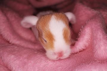 Bunny rabbit newborn lop kit 1 day old baby bunnies new born pets