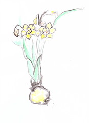 Drawing with watercolors: Narcissus plant with flowers and bulbs.