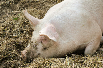 Pigs laying on hay and straw