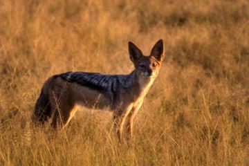 Black Backed Jakal (Canis mesomelas), Central Kalahari Game Reserve, Ghanzi, Botswana, Africa