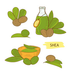 Shea. Leaves, essential oil, shea nuts, powder. Sketch