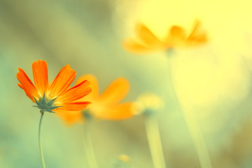 Delicate flowers of coral color in the sunlight on a blurred natural background. Soft, selective...