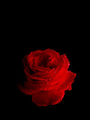 Red rose in the dark