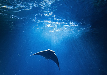 Oceanic Manta Ray in blue water