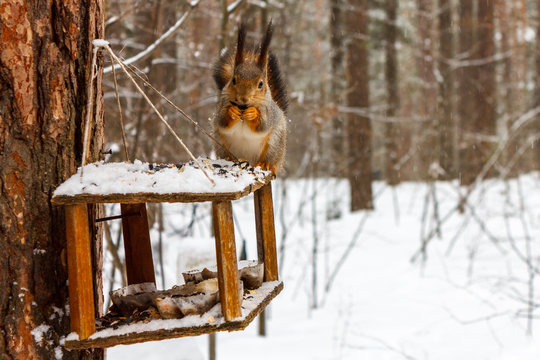 Red squirrel on the feeder in the winter forest